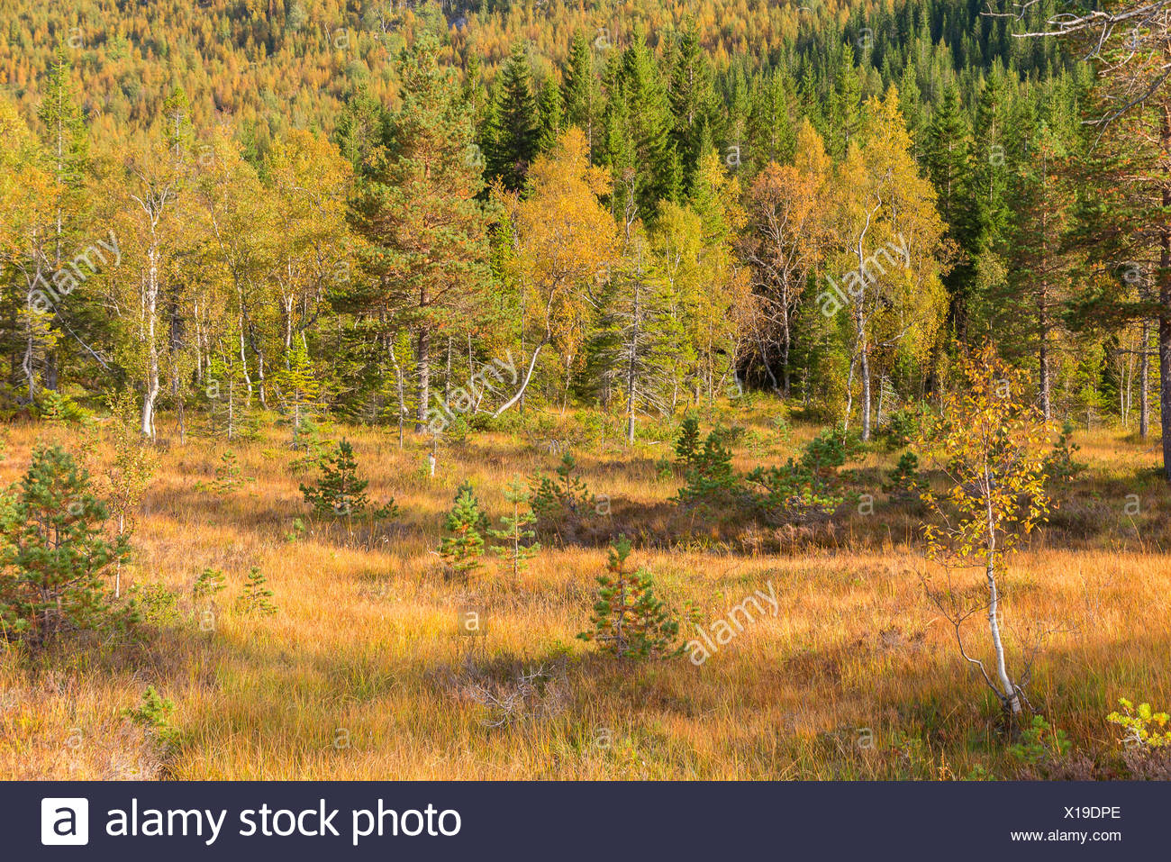 birch (Betula spec.), with autumn colour at the edge of a highmoor, Norway, Nordland - Stock Image