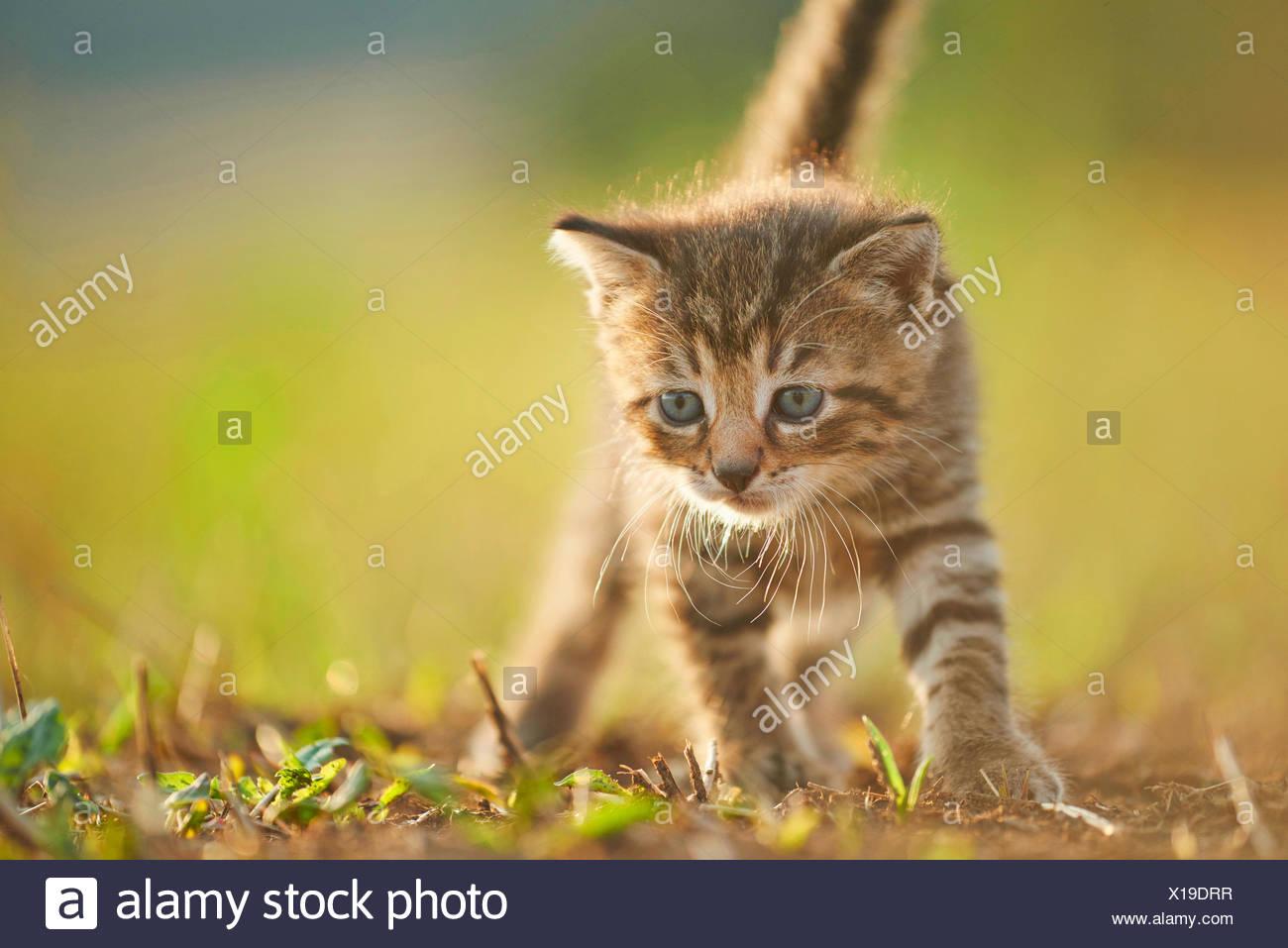 domestic cat, house cat (Felis silvestris f. catus), five weeks old kitten walking in a meadow, Germany - Stock Image