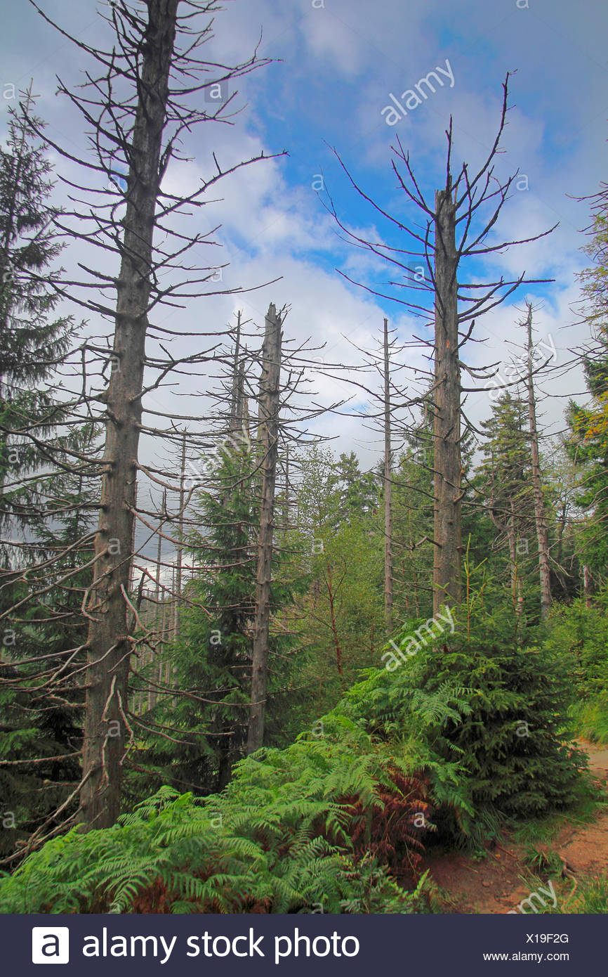 dead spruces , Germany, Baden-Wuerttemberg, Black Forest National Park - Stock Image