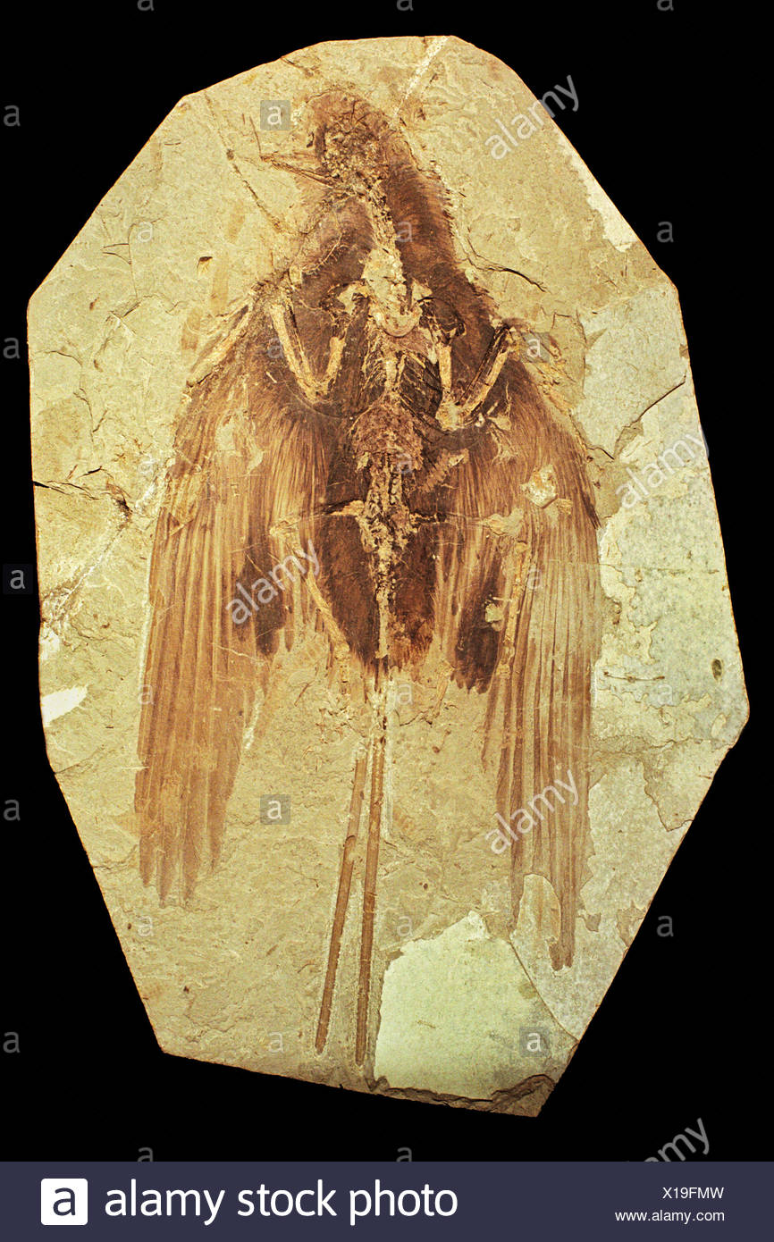 An unidentified Mesozoic fossil found in China traits resembling both birds dinosaurs. Feathers are rarely preserved this - Stock Image