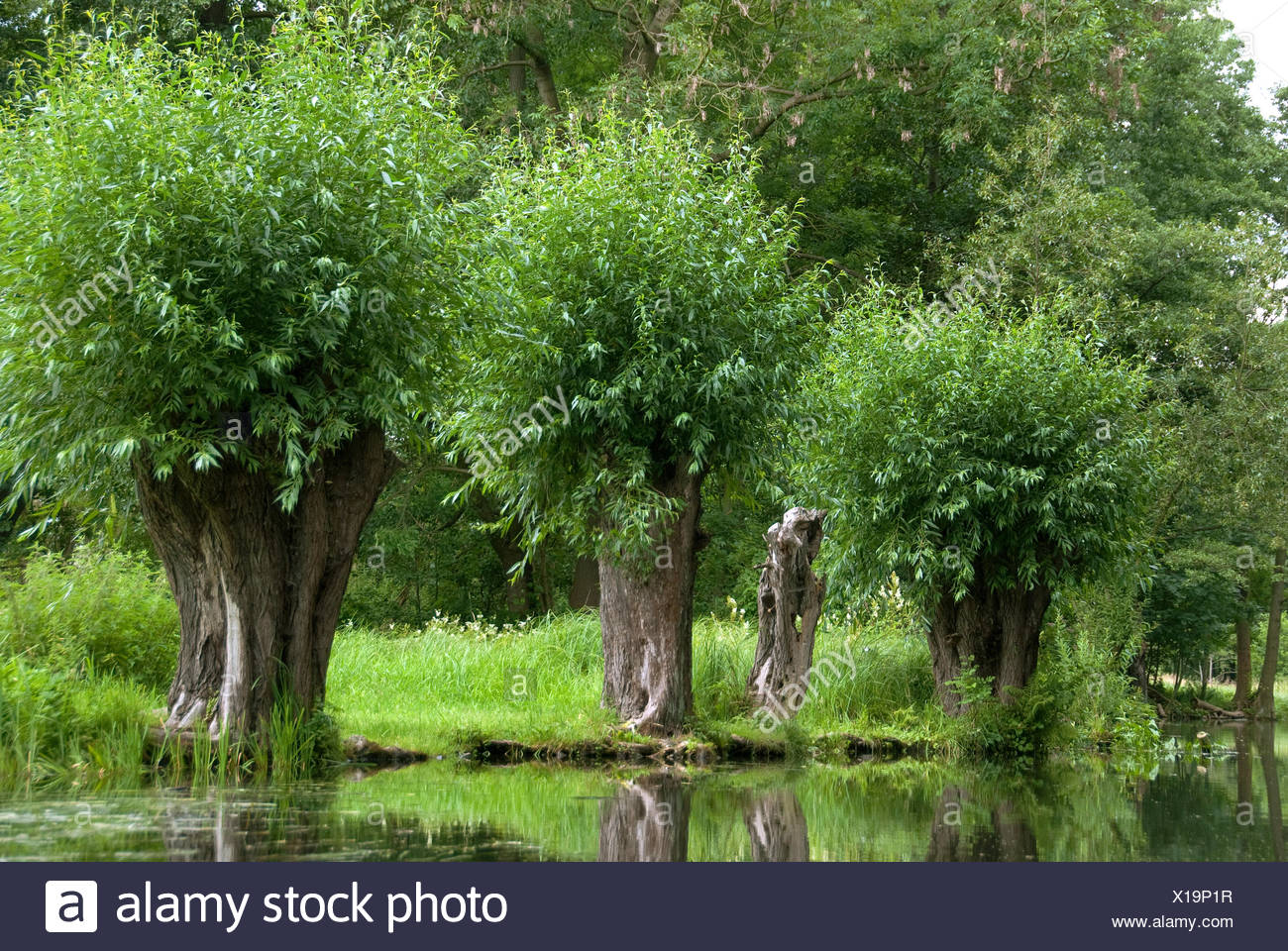 White willow (Salix alba), pollarded willows in Spreewald, Germany, Berlin - Stock Image