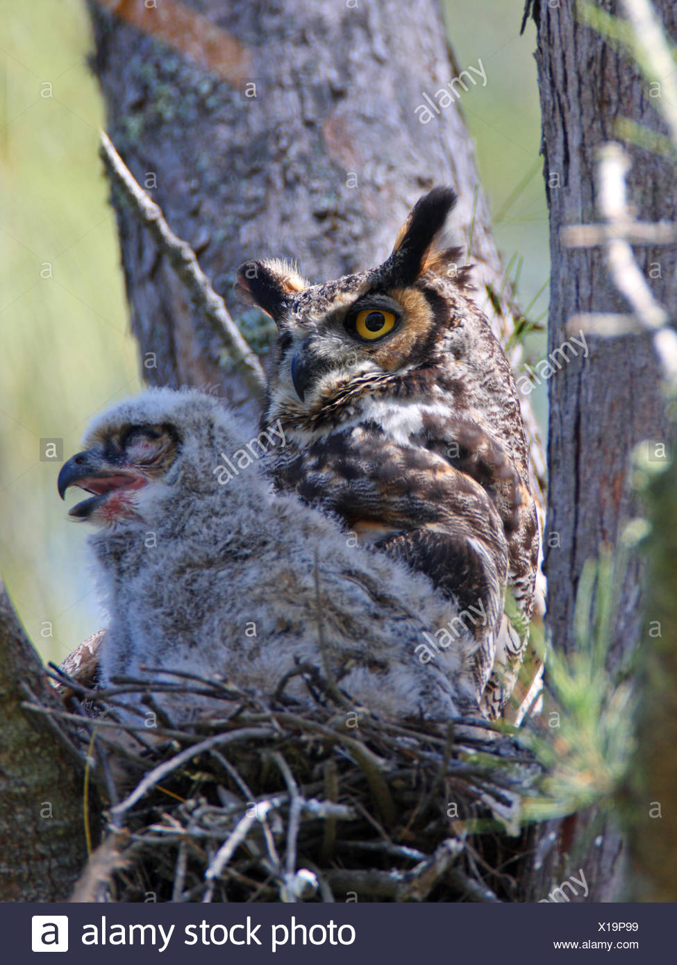 great horned owl (Bubo virginianus), female with a fledgling in the nest, USA, Florida, Everglades National Park Stock Photo