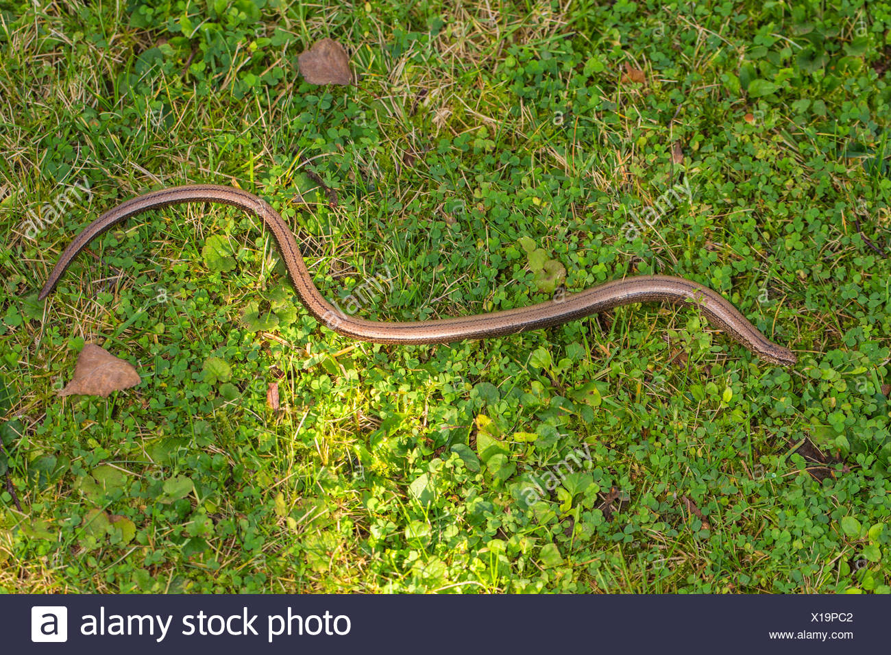 European slow worm, blindworm, slow worm (Anguis fragilis), crawling in a meadow, Germany, Bavaria, Isental Stock Photo