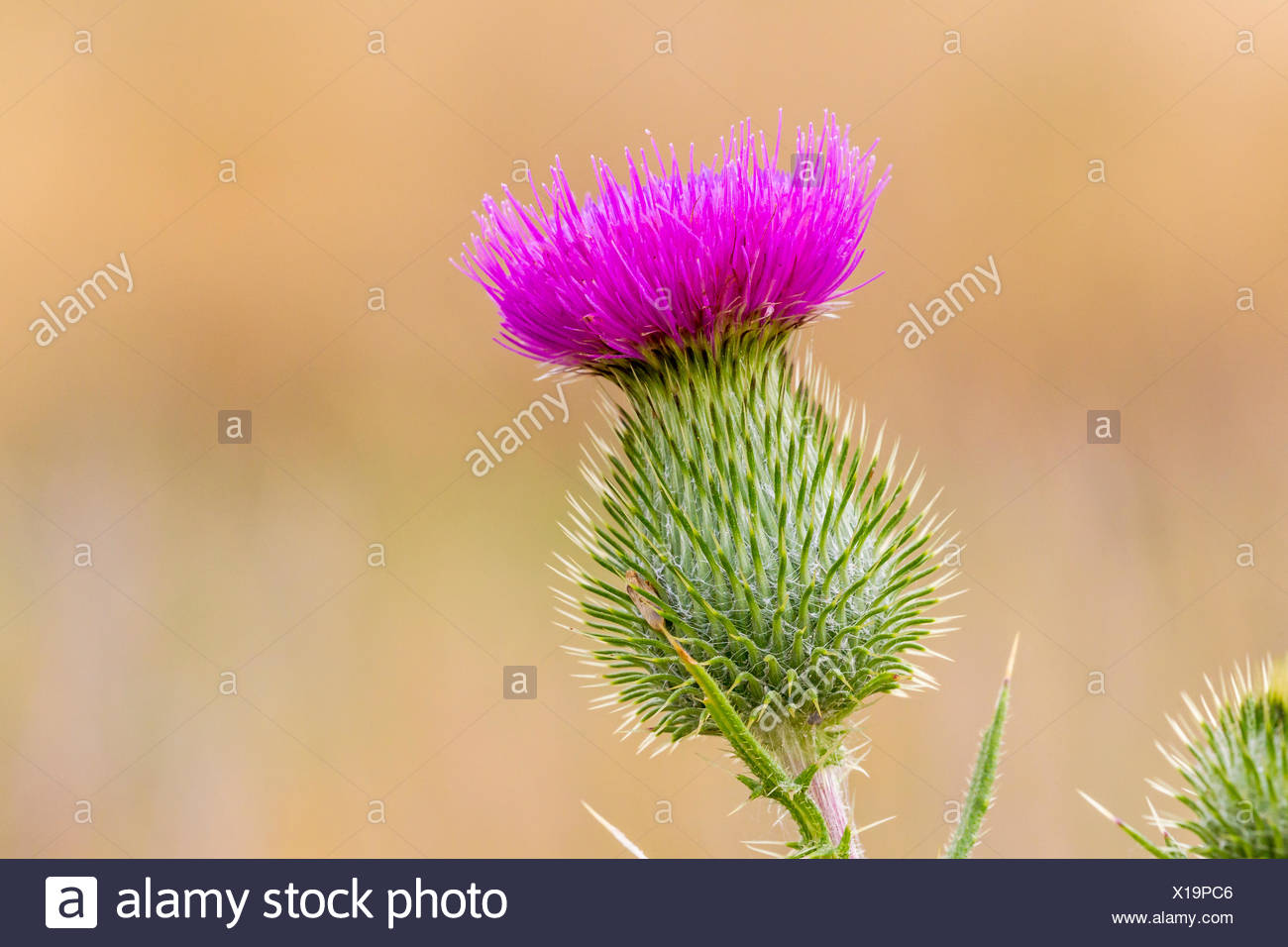 Bull Thistle (Cirsium vulgare) a nonnative plant on Manitoulin Island, Ontario Stock Photo