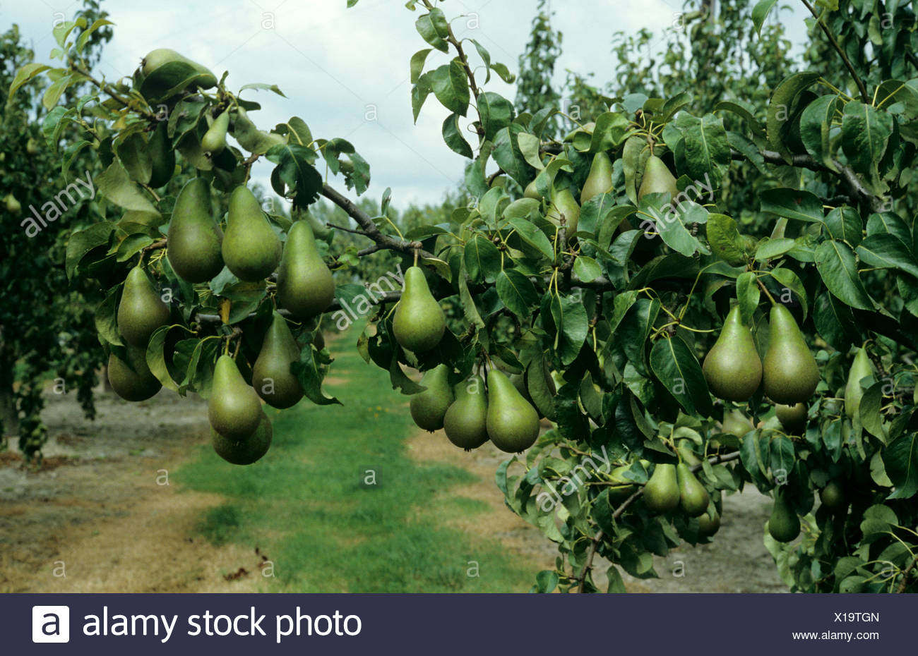 Heavy crop of ripe pears variety Conference on the tree - Stock Image