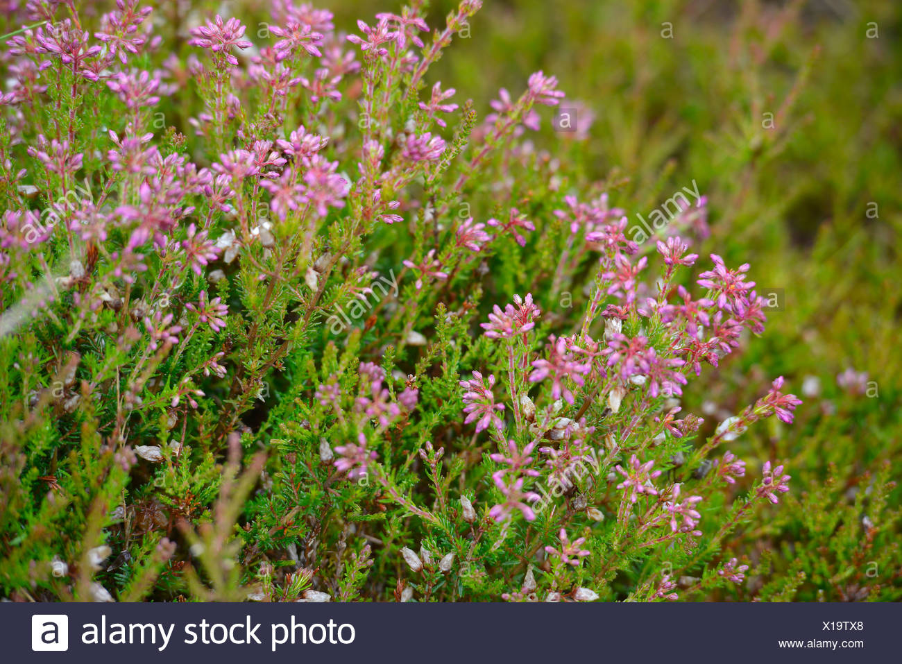 Heather in flower in the Scottish Highlands, Grampian Mountains, Scotland, United Kingdom, Europe - Stock Image
