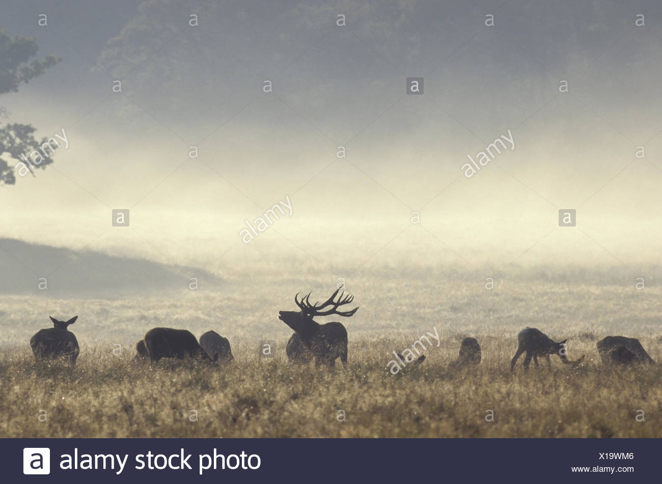 Red Deer stag scenting between hinds and calfs Stock Photo