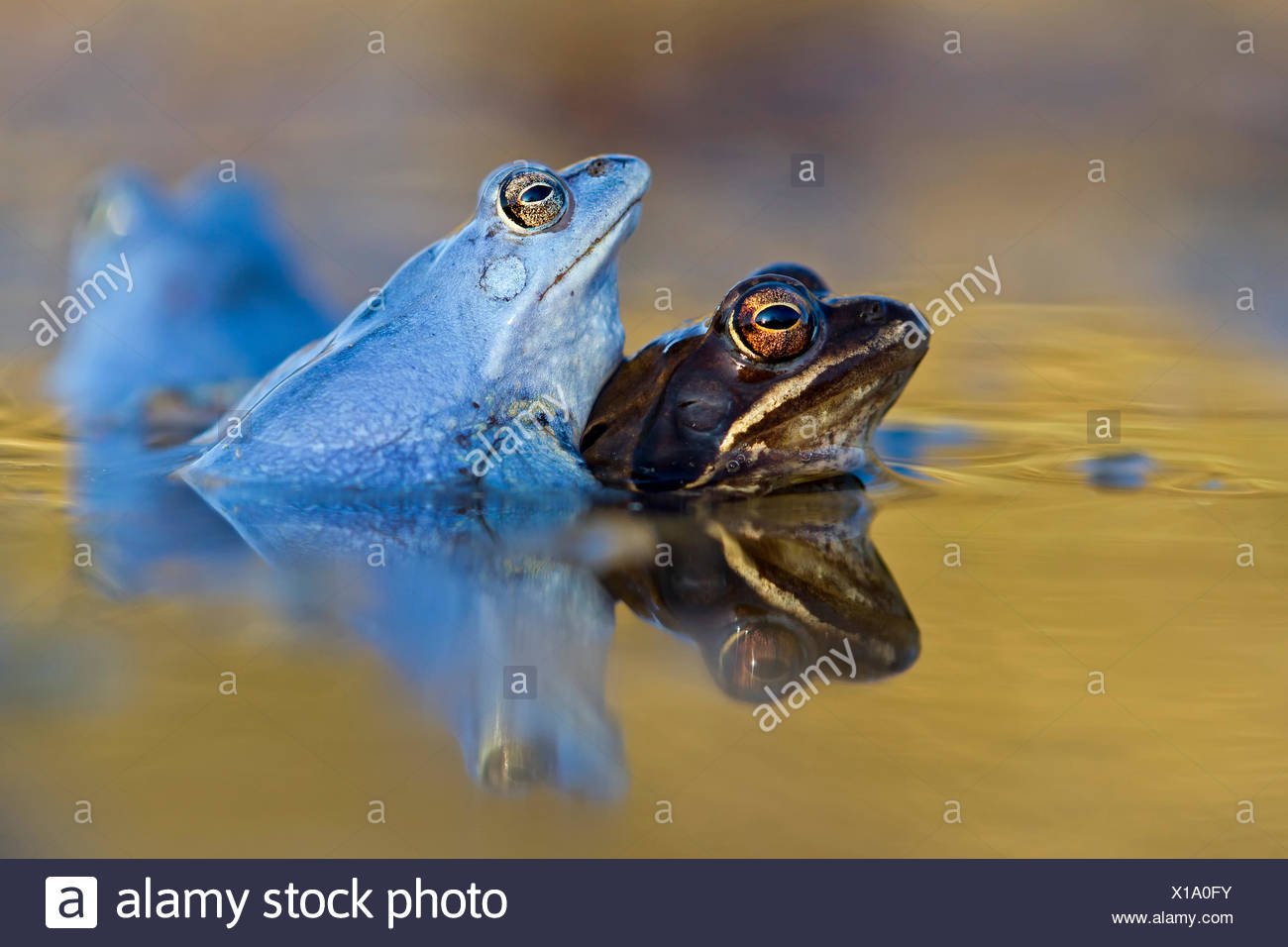 Moor Frogs (Rana arvalis), mating, Middle Elbe, Saxony-Anhalt, Germany - Stock Image