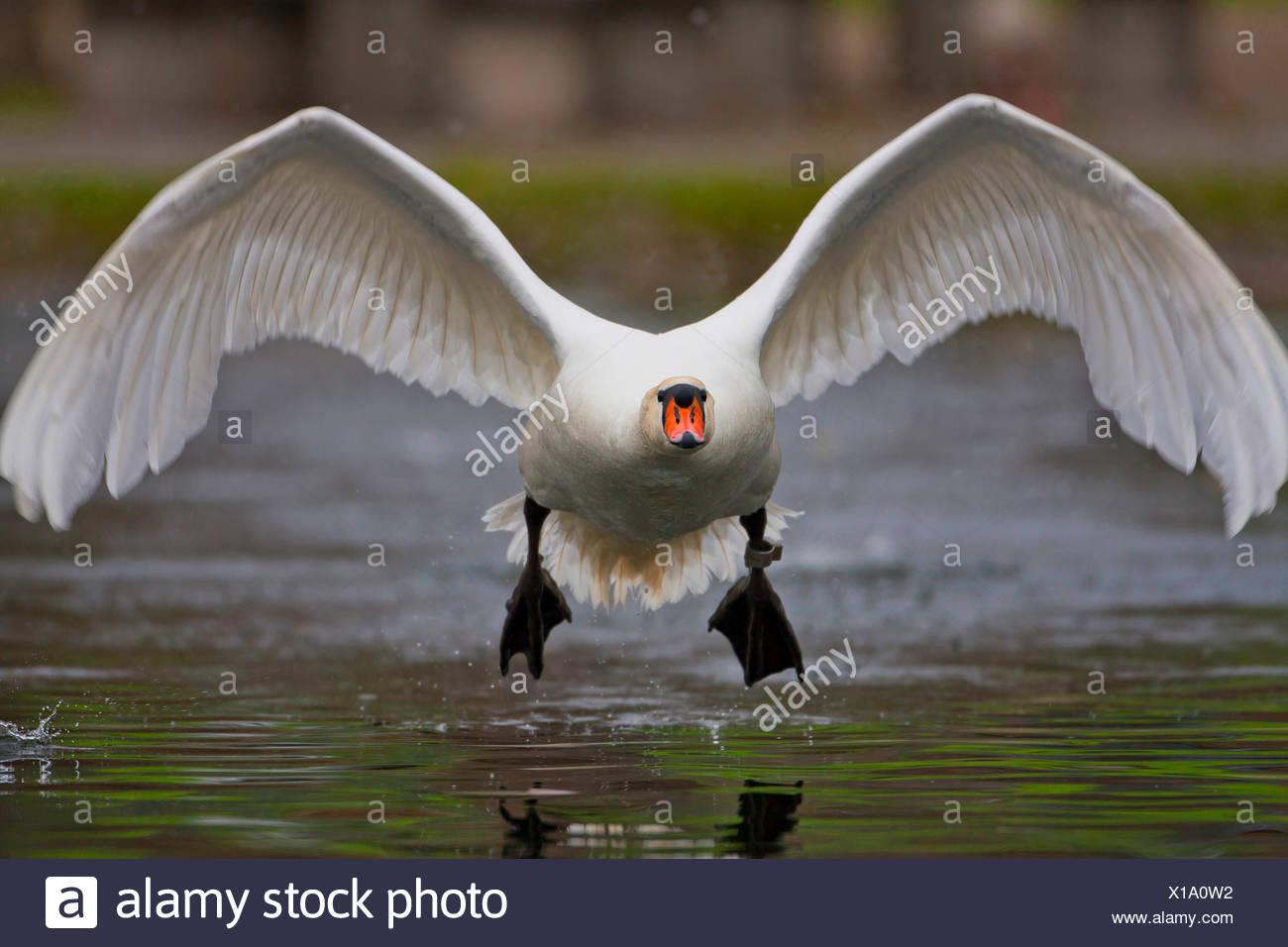 Hoeckerschwan, Hoecker-Schwan (Cygnus olor), startet vom Wasser, Vorderansicht, Deutschland, Baden-Wuerttemberg | mute swan (Cyg - Stock Image