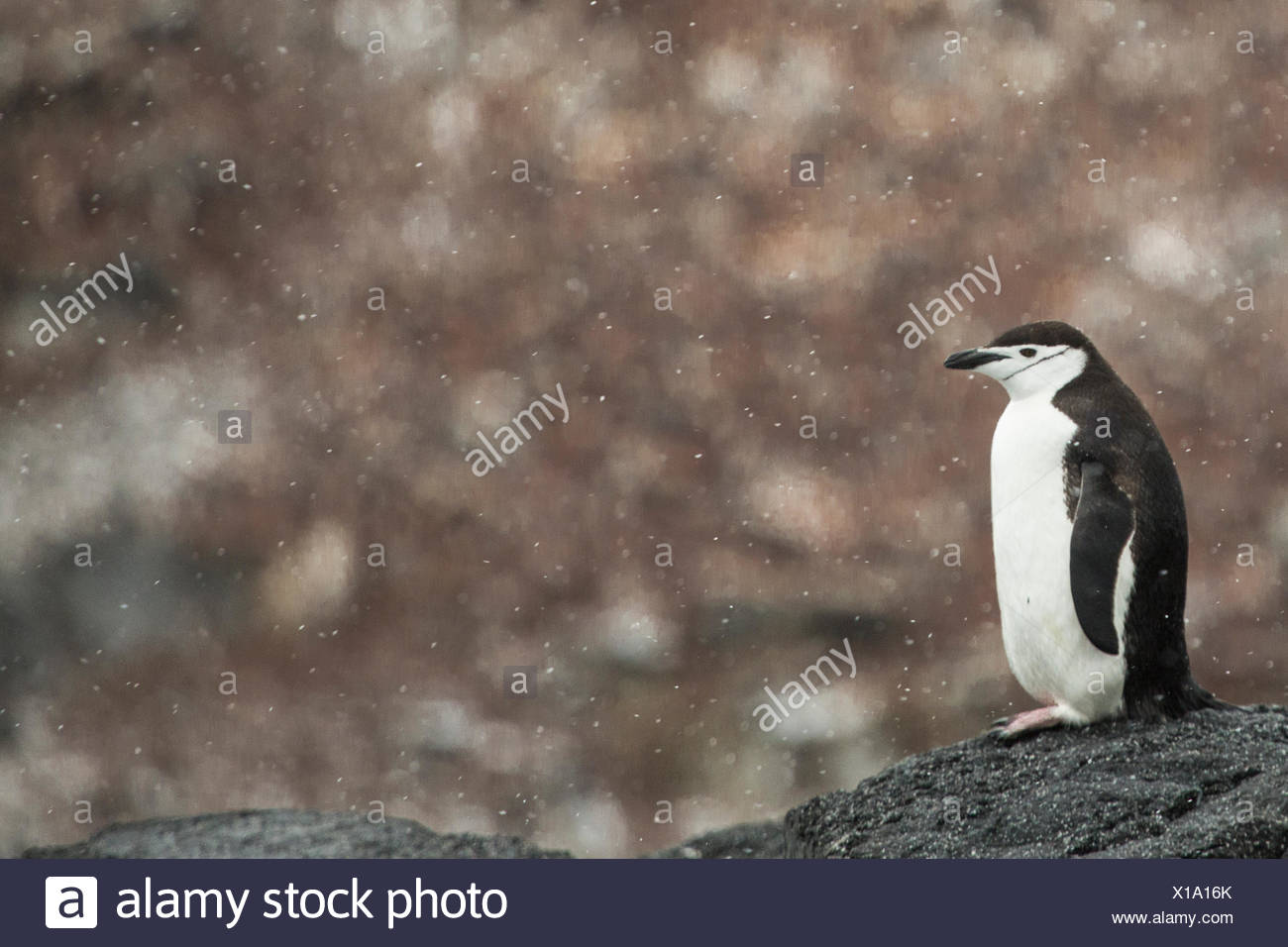 A chinstrap penguin, Pygoscelis antarctica, in a light snow shower. - Stock Image