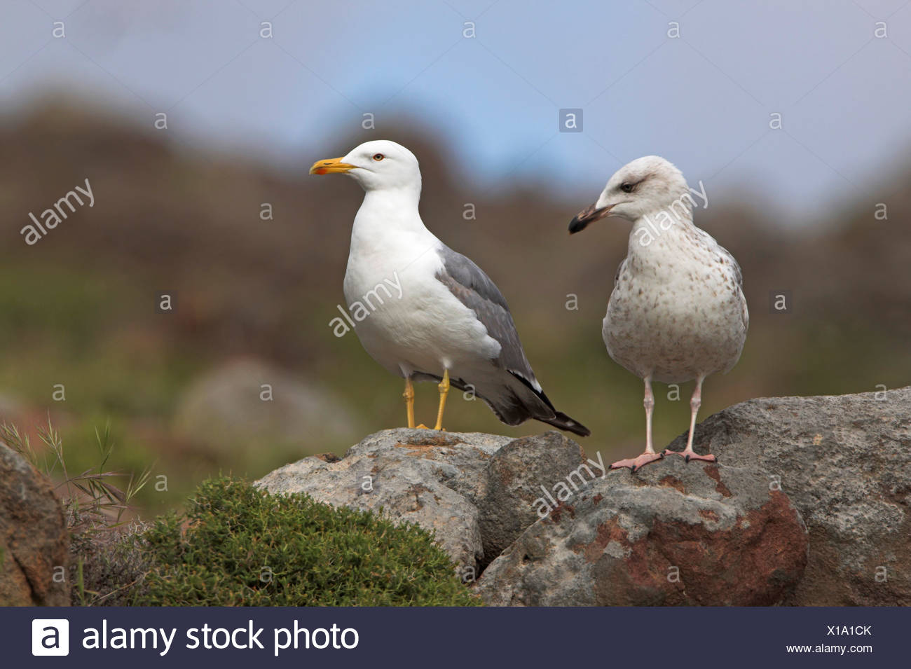 Yellow-legged Gull (Larus michahellis), young and adult bird sitting together on rocks, Greece, Lesbos Stock Photo