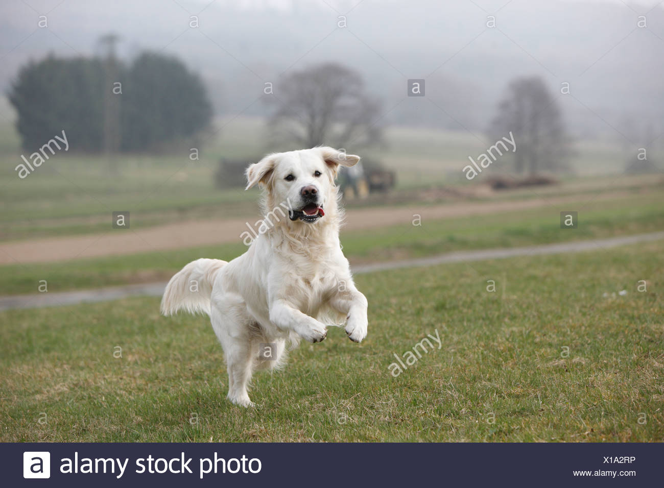 Golden Retriever (Canis lupus f. familiaris), 2 years old individual running ober a meadow, Germany Stock Photo