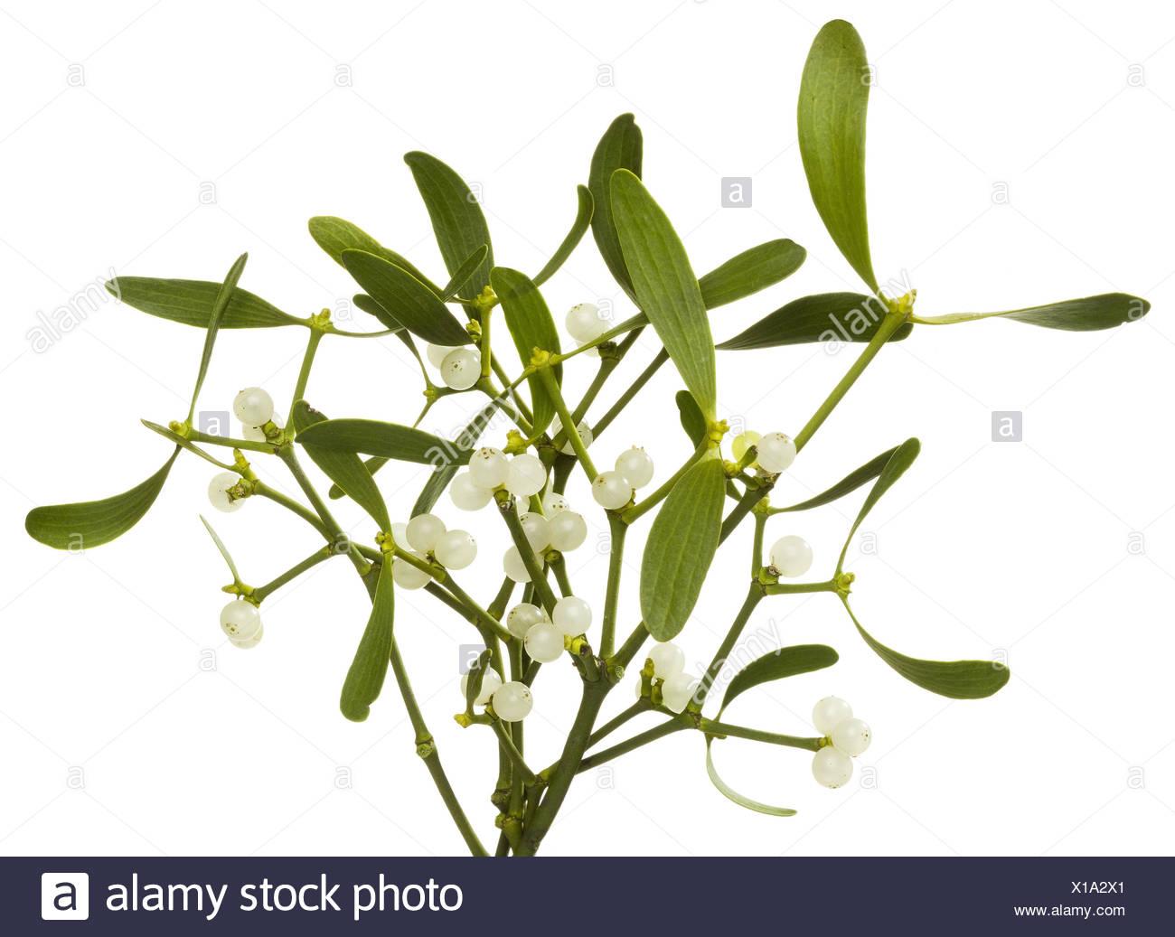 Hardwood mistletoe, Viscum album, sprigs mistletoe, - Stock Image