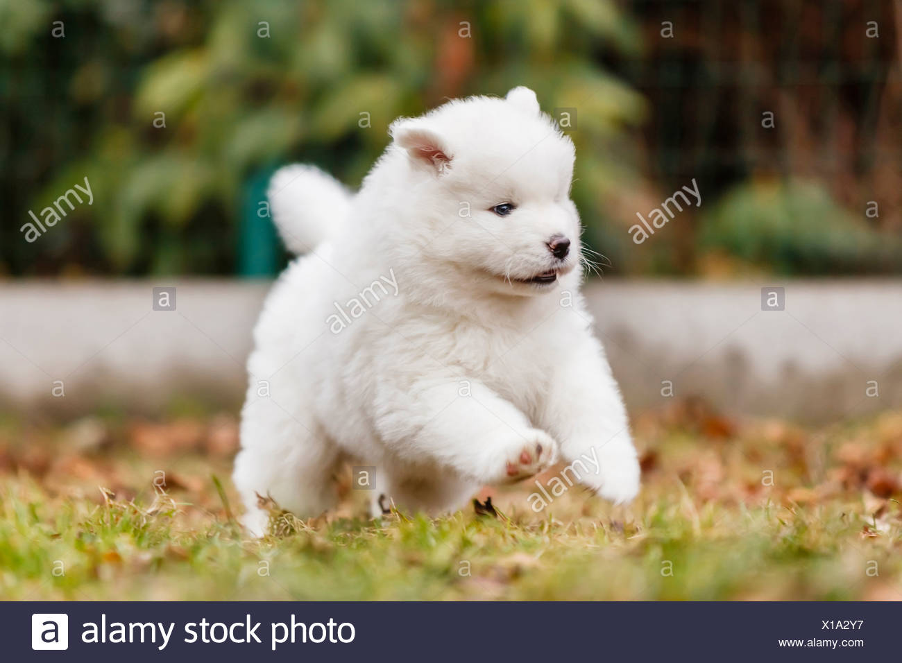 Samoyed Dog Puppy Running Meadow Stock Photo Alamy