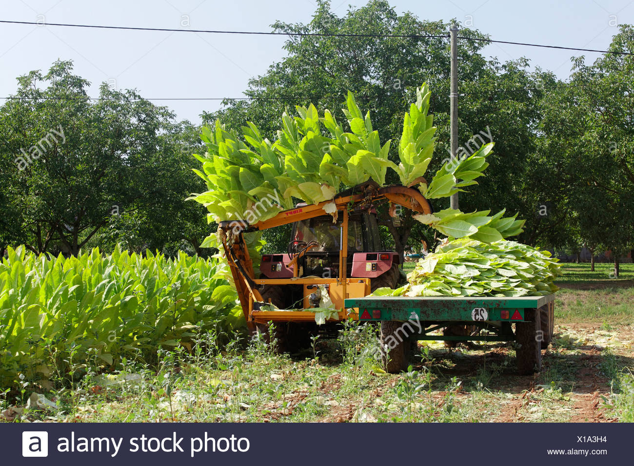 Tobacco growing in Quercy, Lot, France, Europe - Stock Image