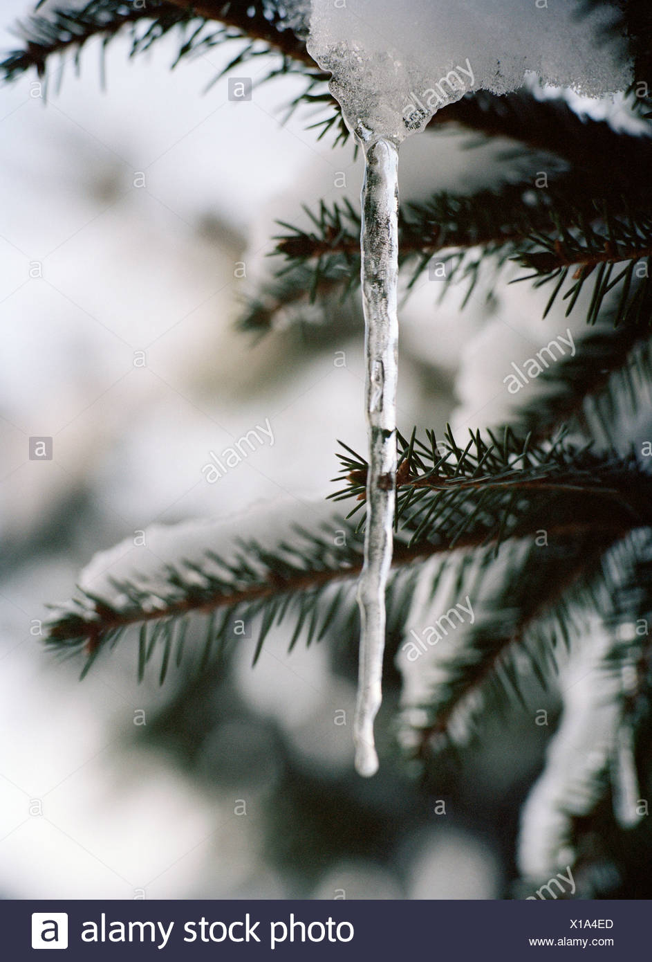 An icicle on a branch Sweden - Stock Image