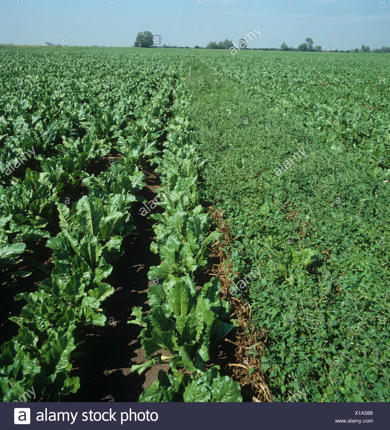 Sugar beet trial with weed treatment controlling black bindweed compared to untreated - Stock Image