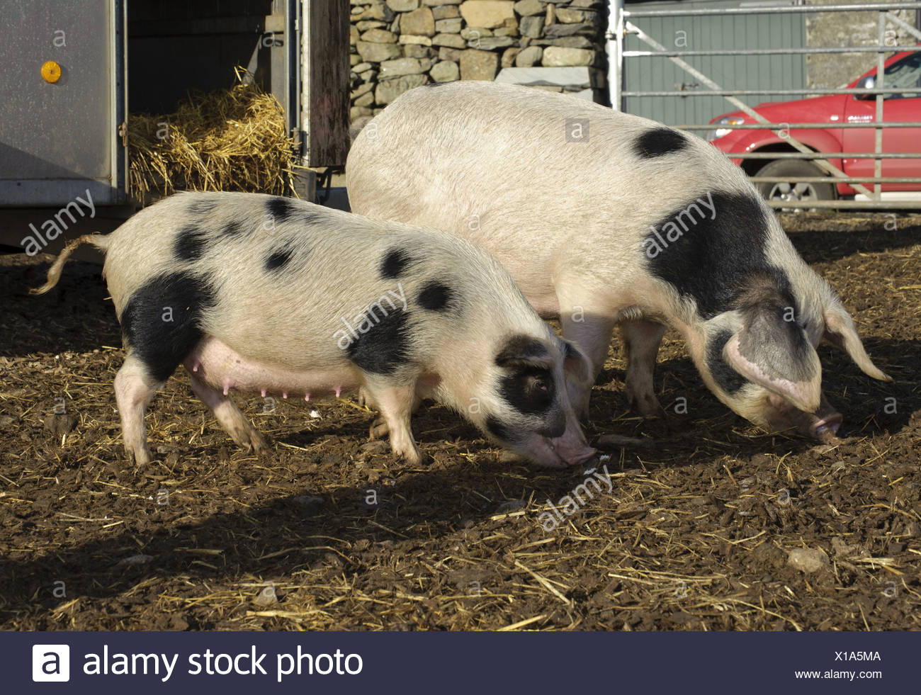 Domestic Pig Gloucester Old Spot sows normal smaller selectively bred sows part micro pig breeding process Cumbria England - Stock Image