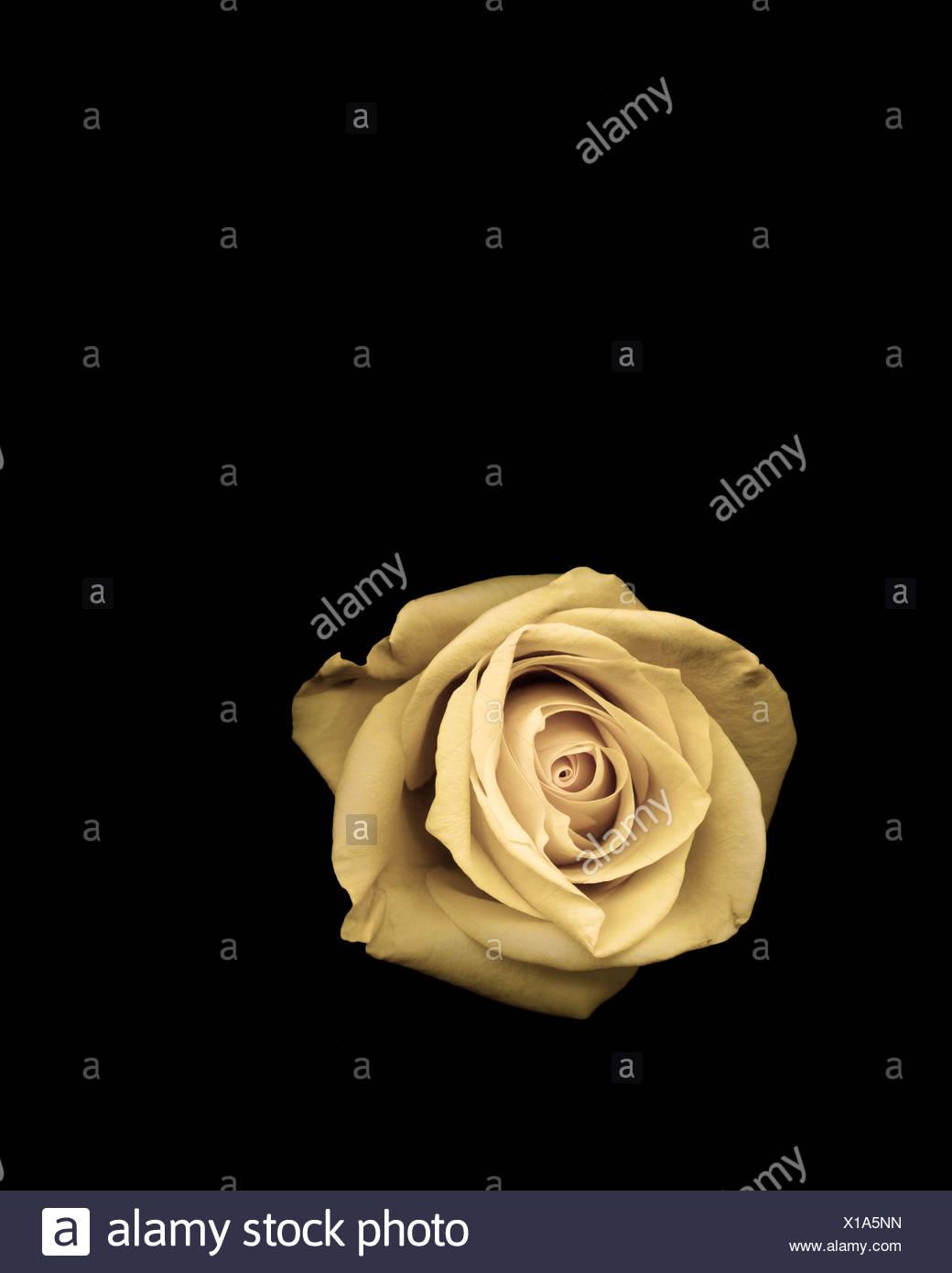 Studio shot of rose - Stock Image