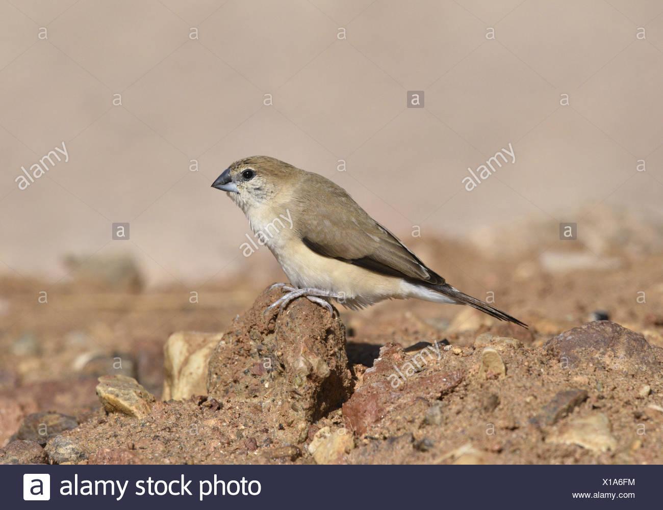 Indian Silverbill (or White-throated munia)- Euodice malabarica - Stock Image