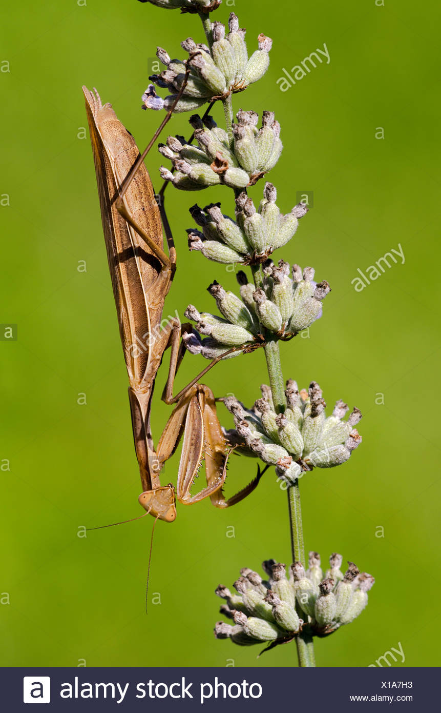 Praying Mantis (Mantis religiosa), Allersgraben, South Burgenland, Austria, Europe Stock Photo