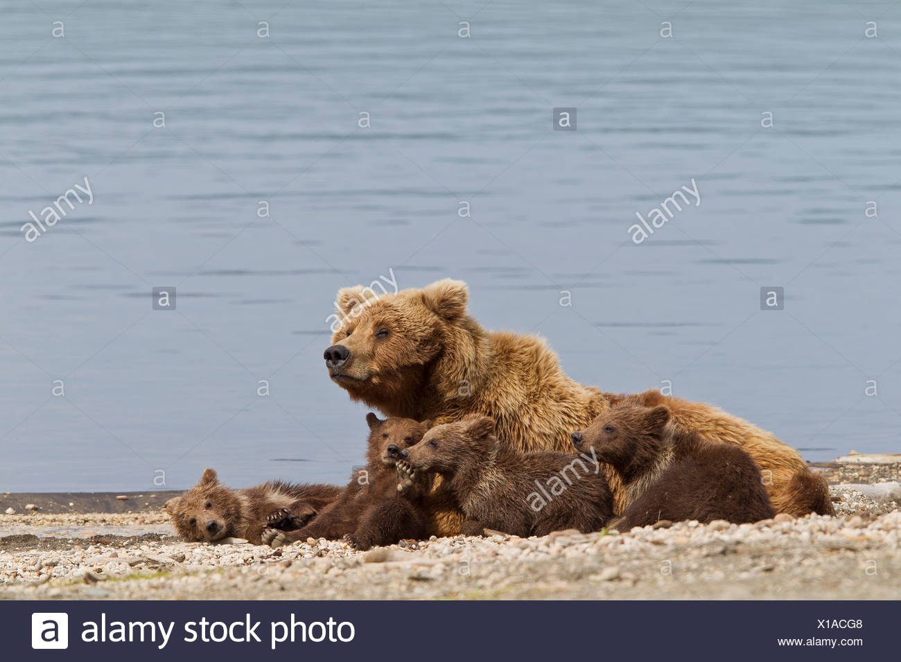 A Brown Bear Sow rests with 4 of her spring cubs on the beach of Naknek Lake, Brooks Camp, Katmai National Park, Alaska - Stock Image