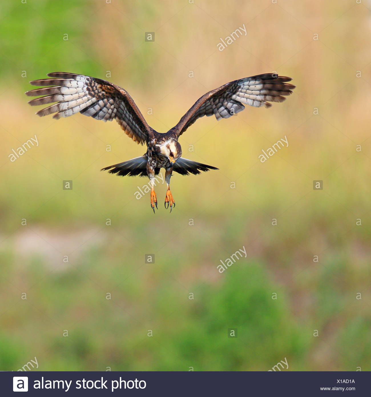 everglade kite, snail kite (Rostrhamus sociabilis), flying female , USA, Florida Stock Photo