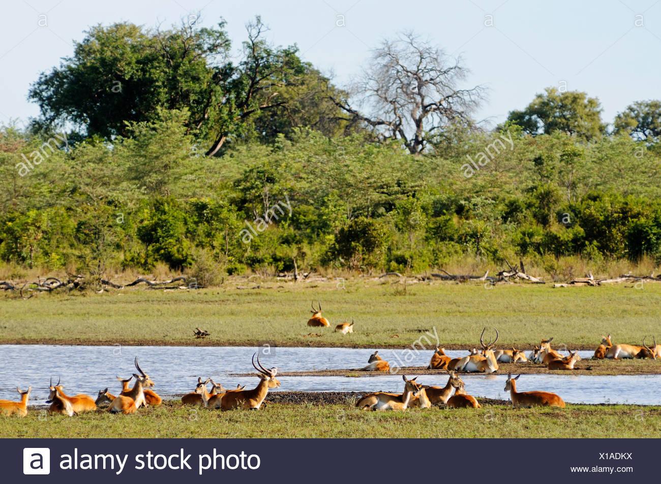 Southern Lechwe (Kobus leche) antelopes, in Bwabwata National Park, former Caprivi National Park and Mahango National Park - Stock Image