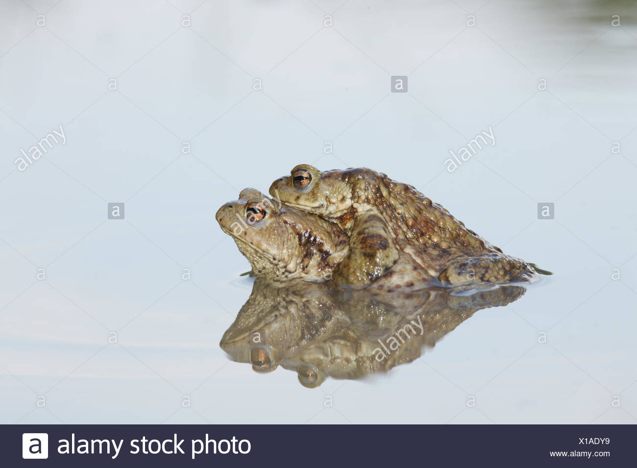 Common toads, Bufo bufo, in mating position called amplexus. Stock Photo