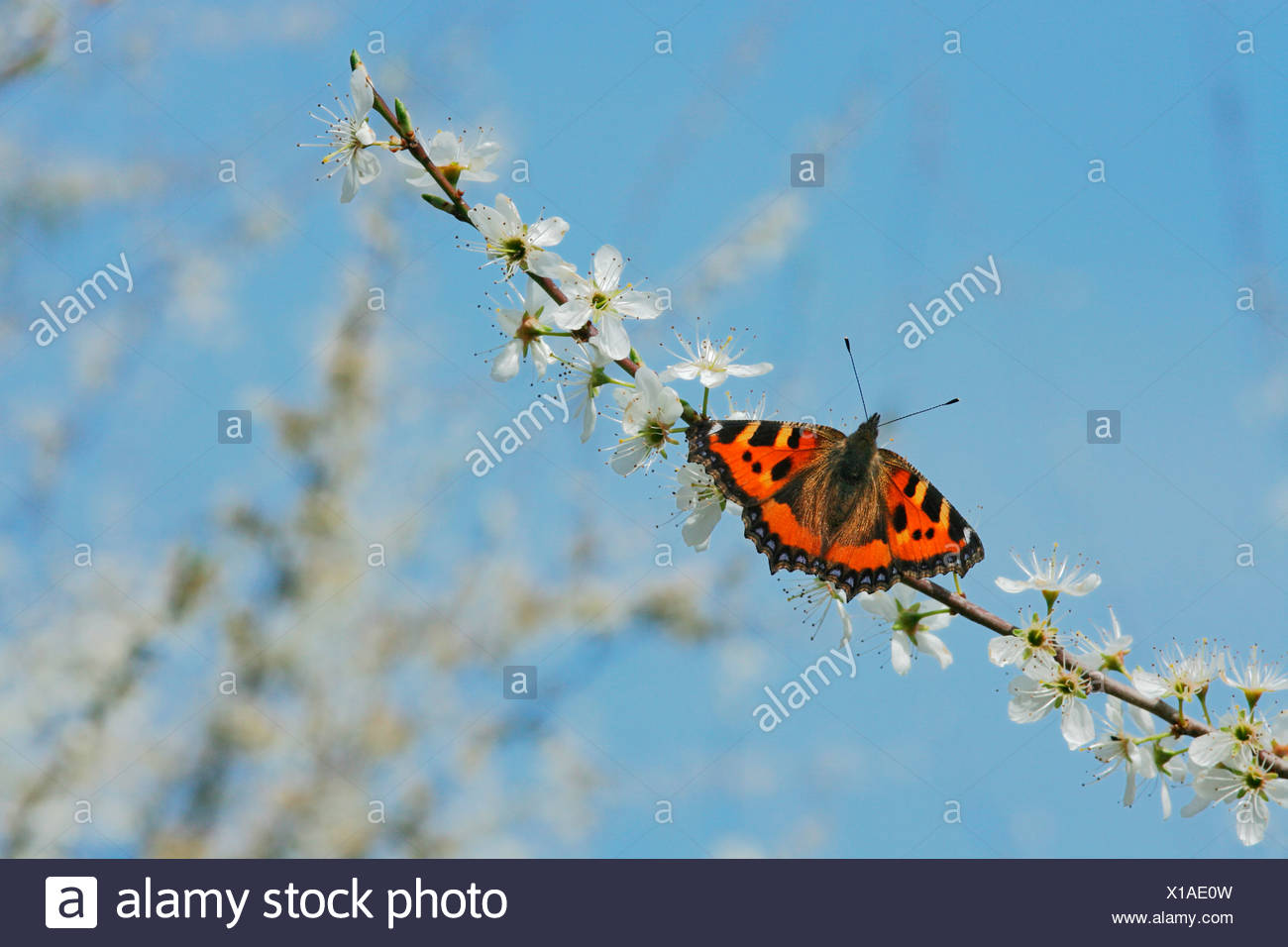 Small Tortoiseshell butterfly (Nymphalis urticae) on blooming blackthorn twig (Prunus spinosa) - Stock Image