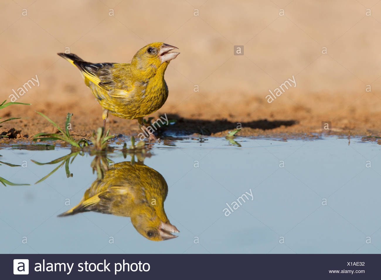European Greenfinch (Carduelis chloris)  a small passerine bird in the finch family Fringillidae. Photographed near a puddle of  - Stock Image