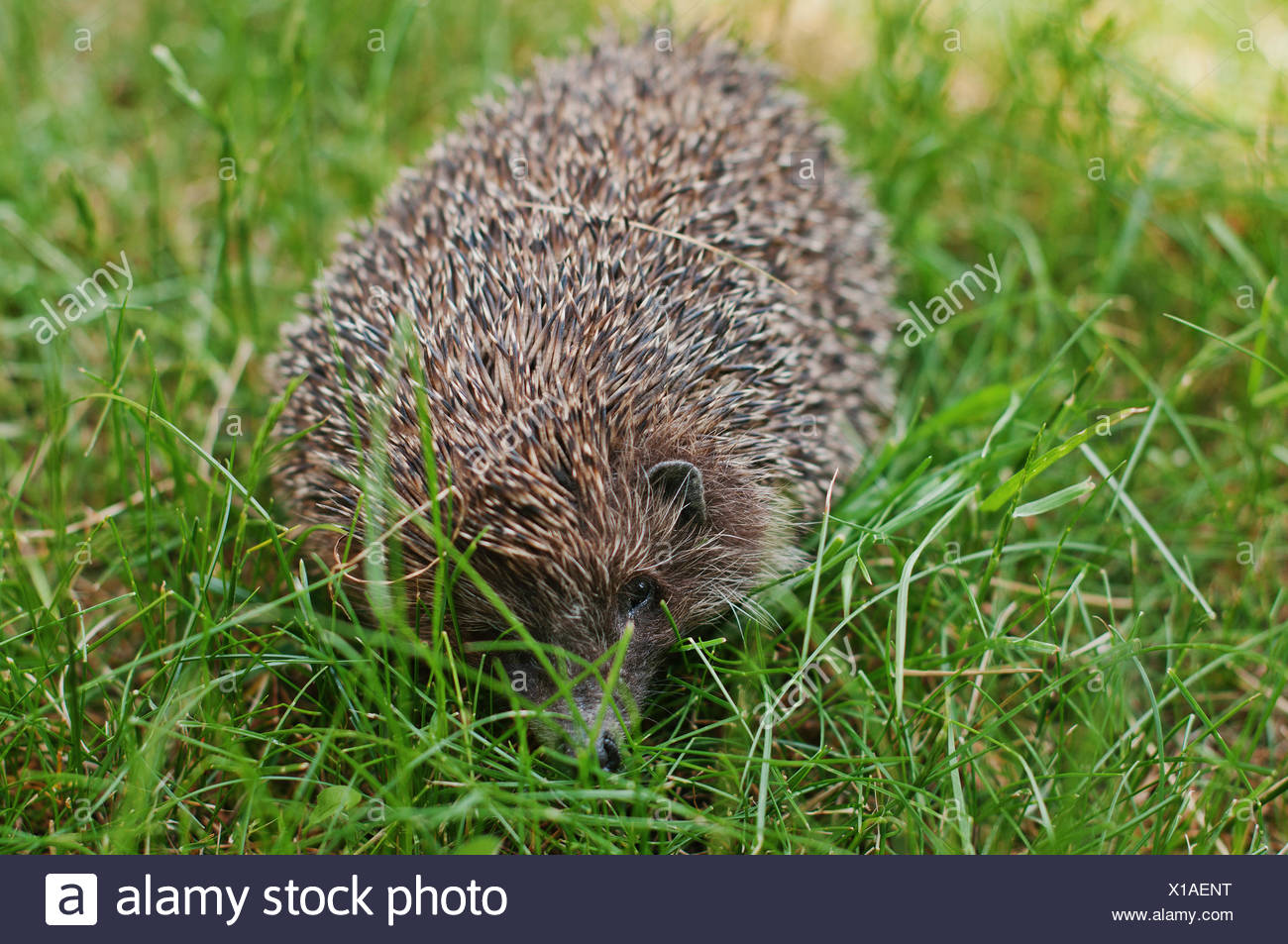 hedgehog on the green grass - Stock Image