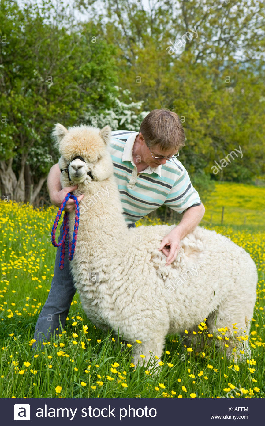 farmer with an alpaca stood in field of buttercups - Stock Image