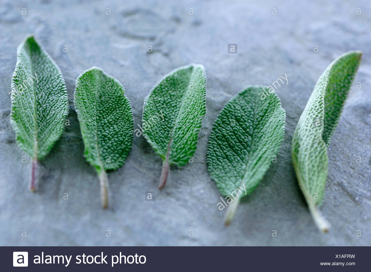 Sage, close-up - Stock Image