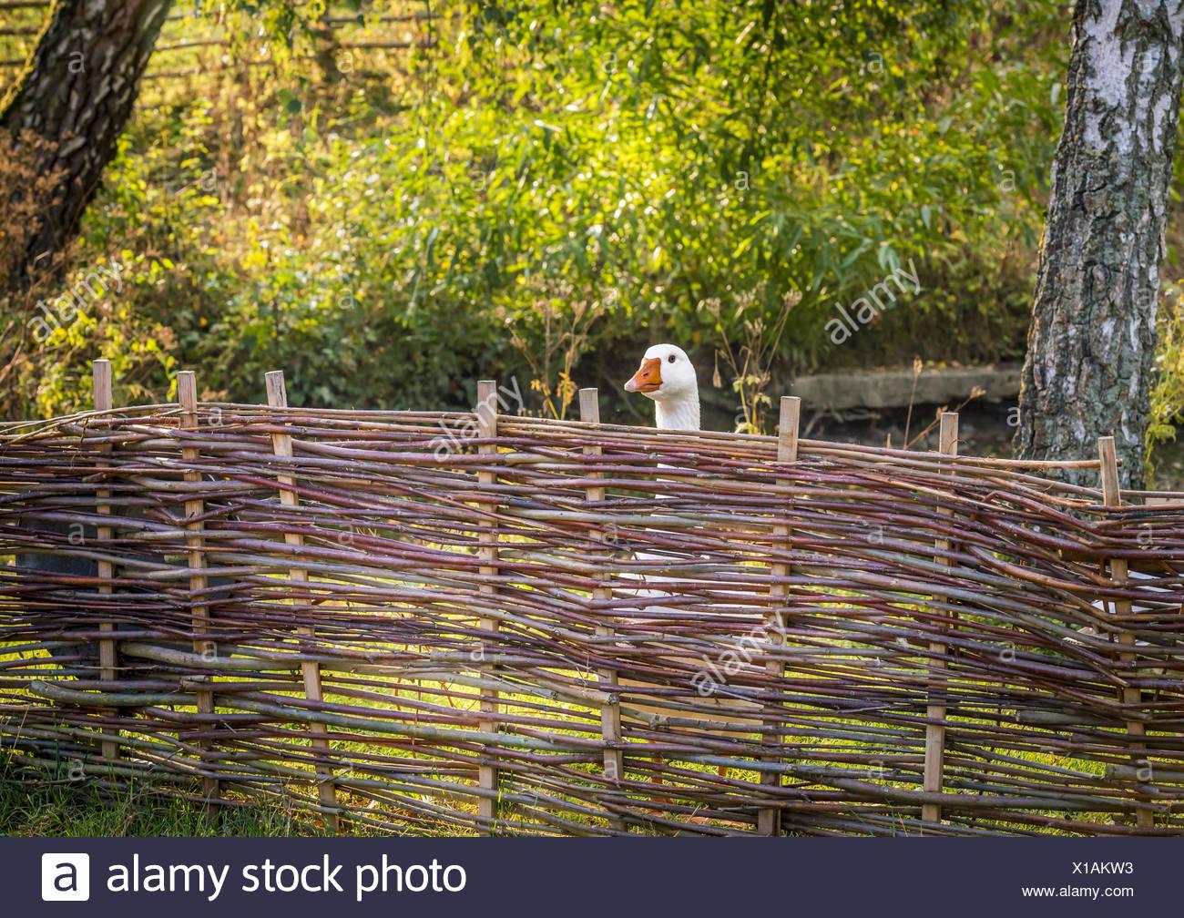 White goose behind farm fence - Stock Image