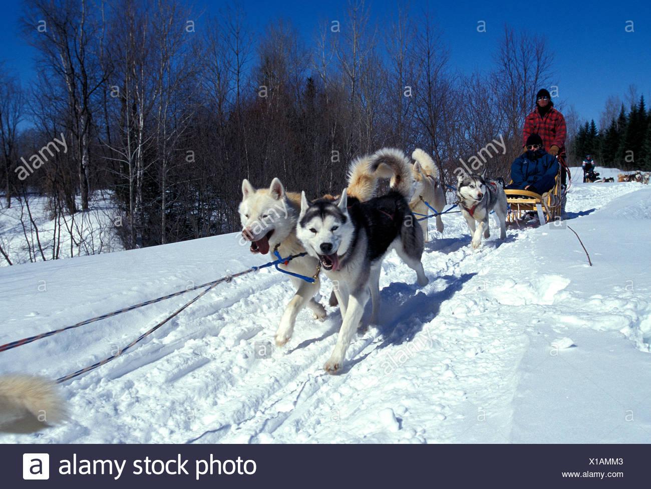 Siberian Husky Quebec Huskies Canada ...