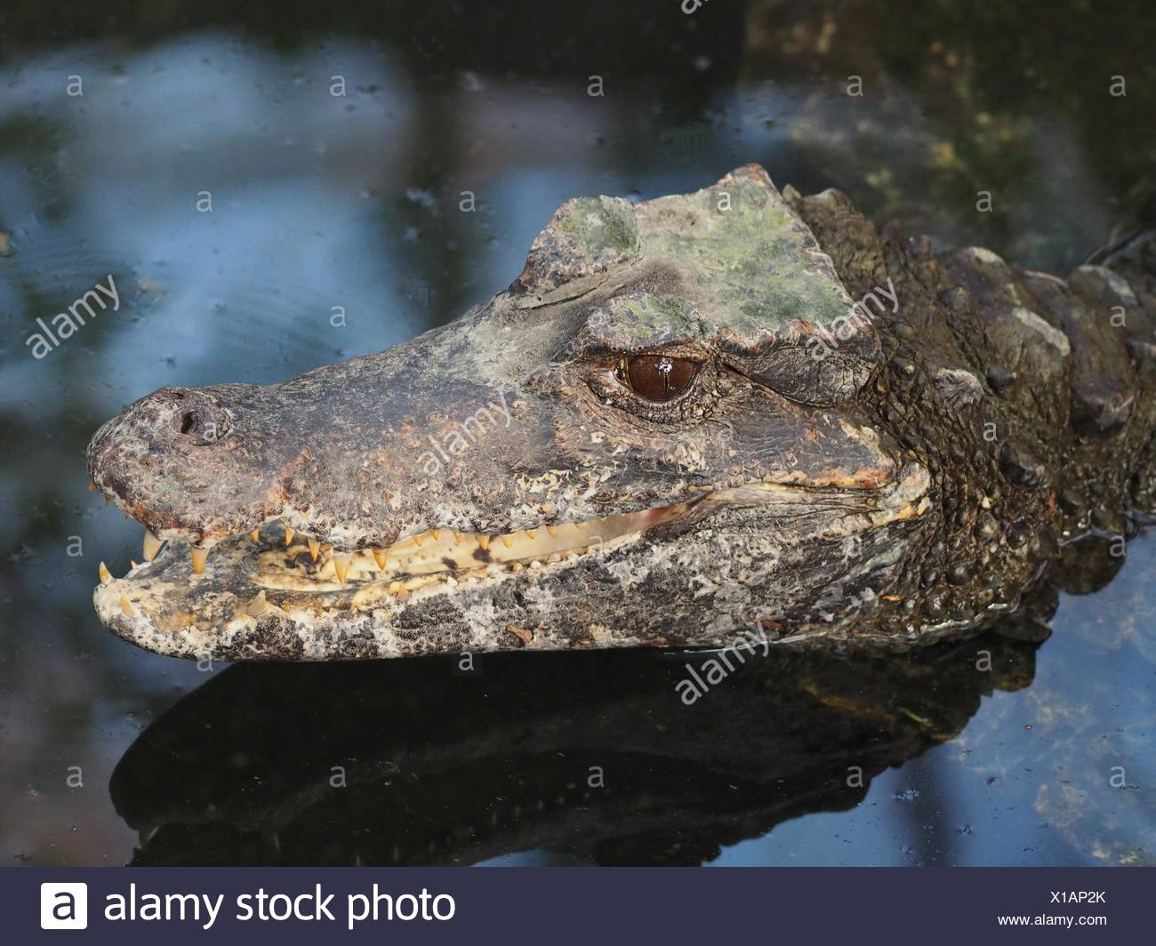 smooth-fronted caiman - Stock Image