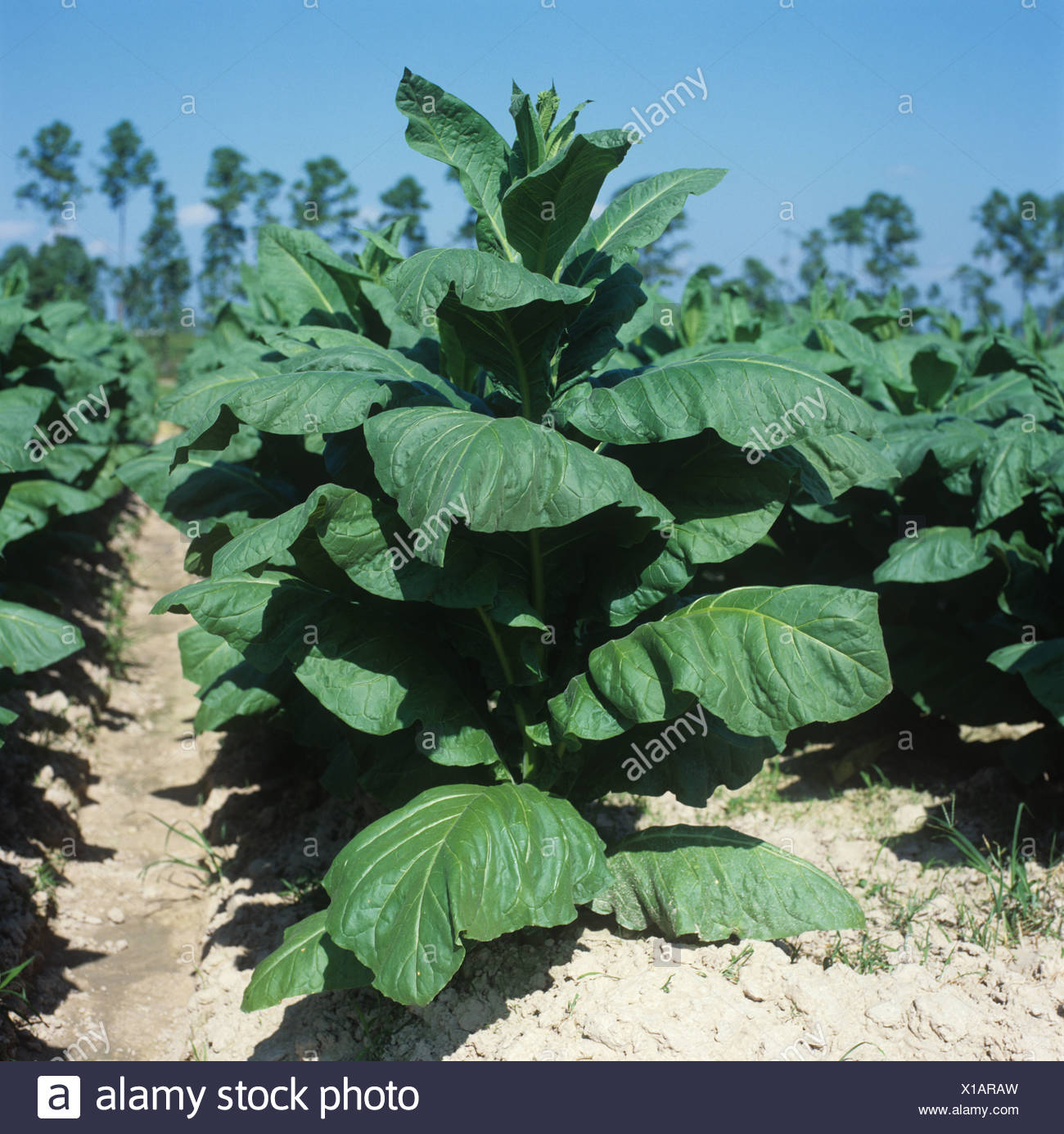 Large but immature tobacco plant in a crop Thailand - Stock Image