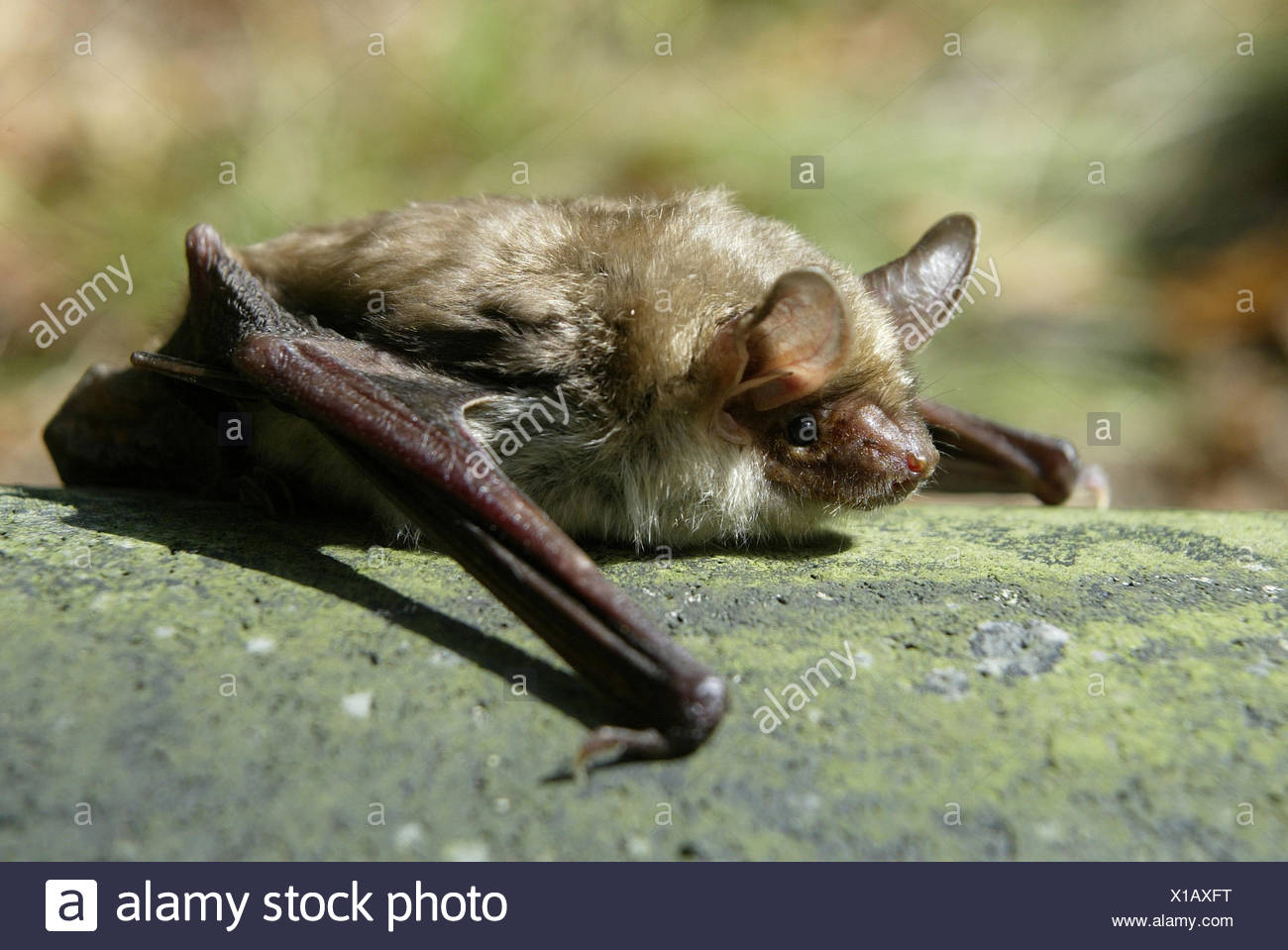 mouse-eared bat - Stock Image