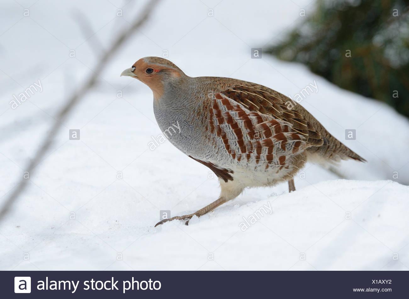 Partridge, Perdix perdix, chickens, hens, wild chickens, bird, Galliformes, partridges, bird, birds, winter, snow, Germany, Europ - Stock Image