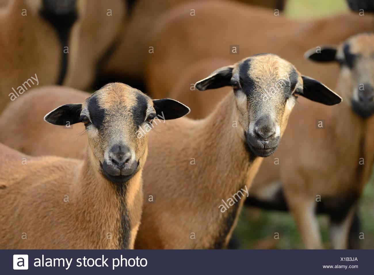 Herd of Cameroon sheep, portrait - Stock Image