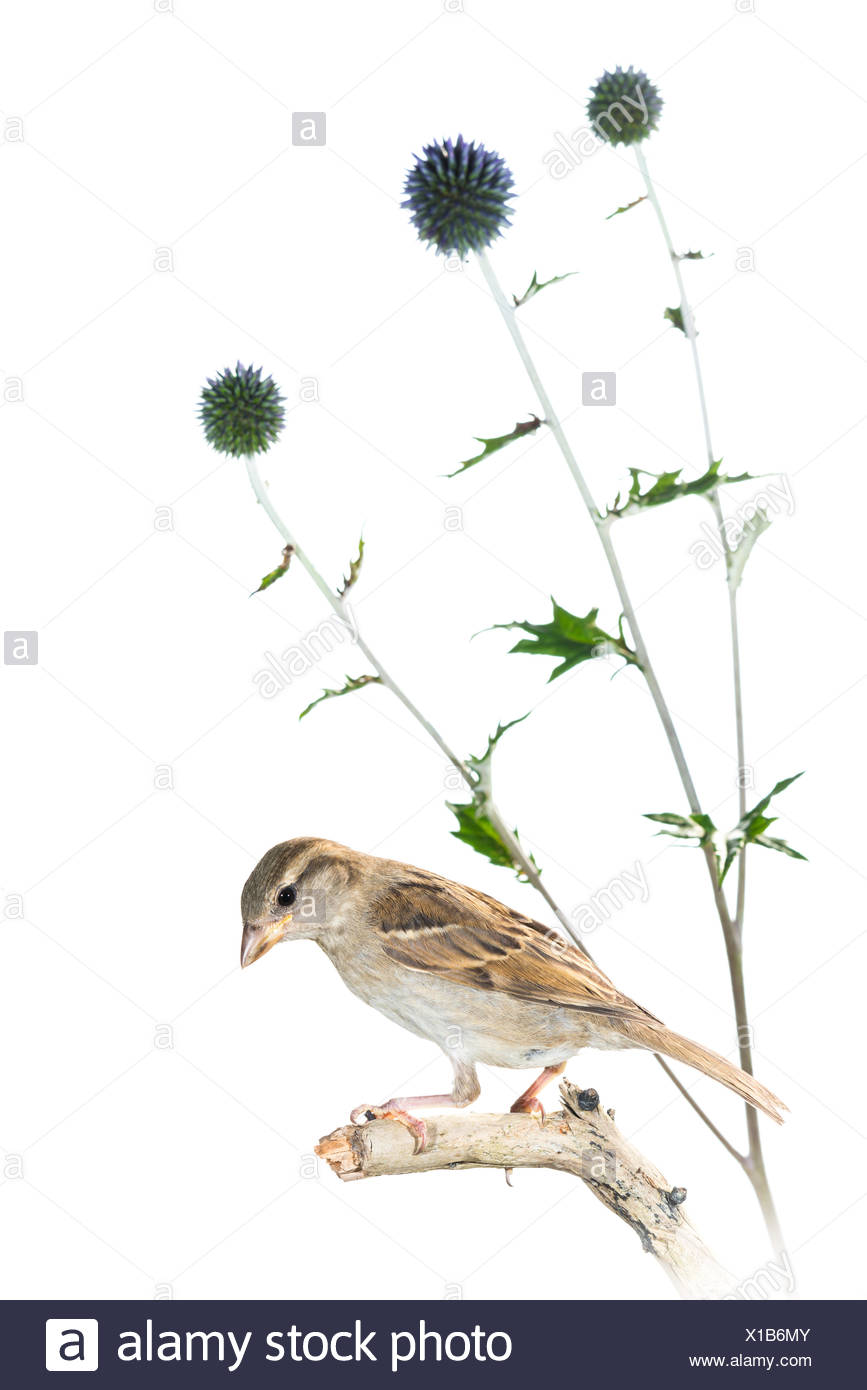 House Sparrow Thistle - Stock Image