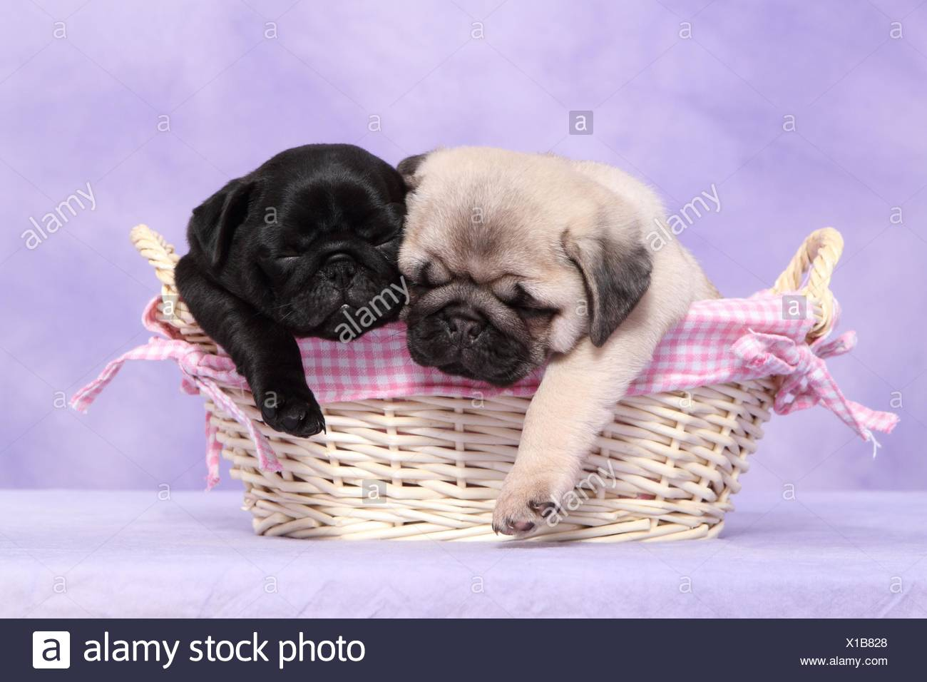pug puppies - Stock Image