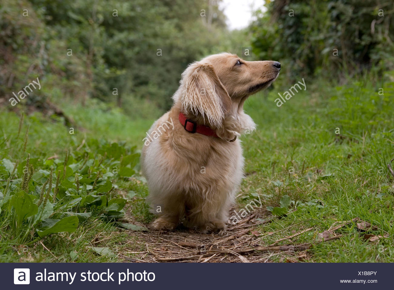 fawn coloured long haired Daschund walking in countryside - Stock Image