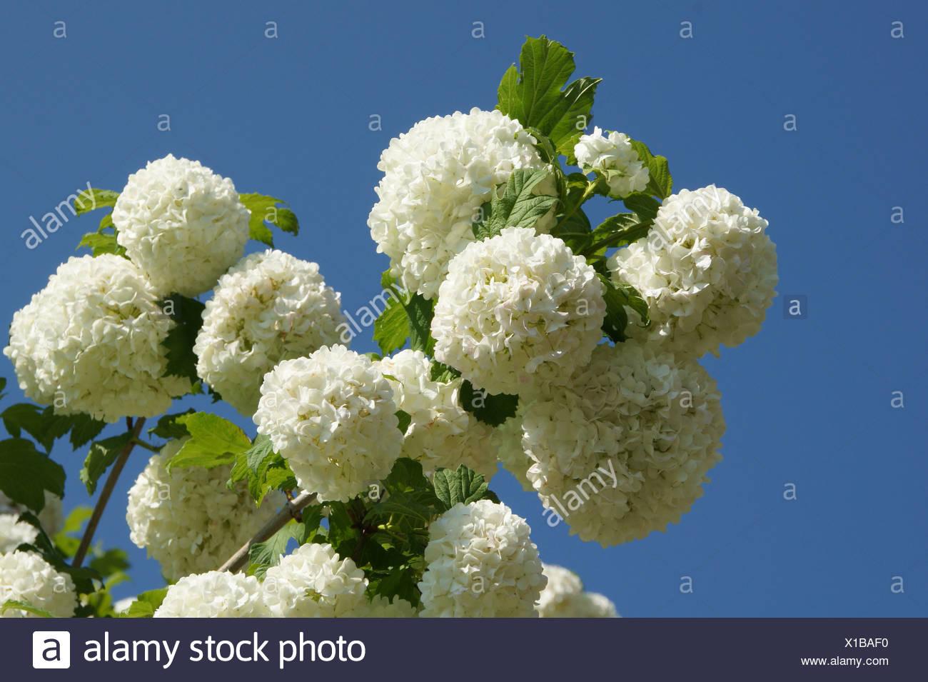 Snowball-shrub - Stock Image