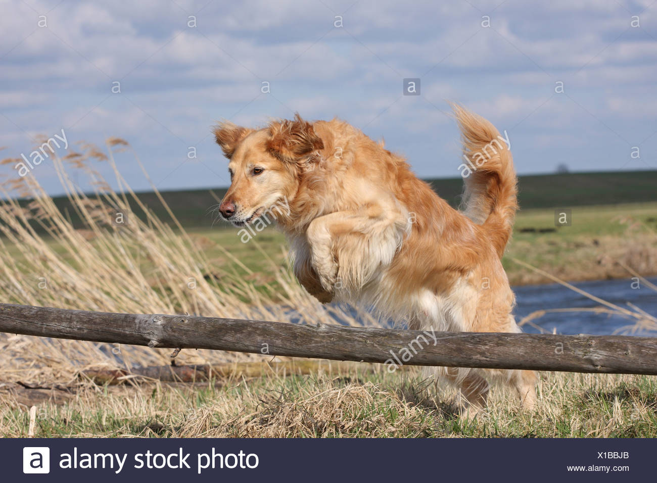 jumping Golden Retriever - Stock Image