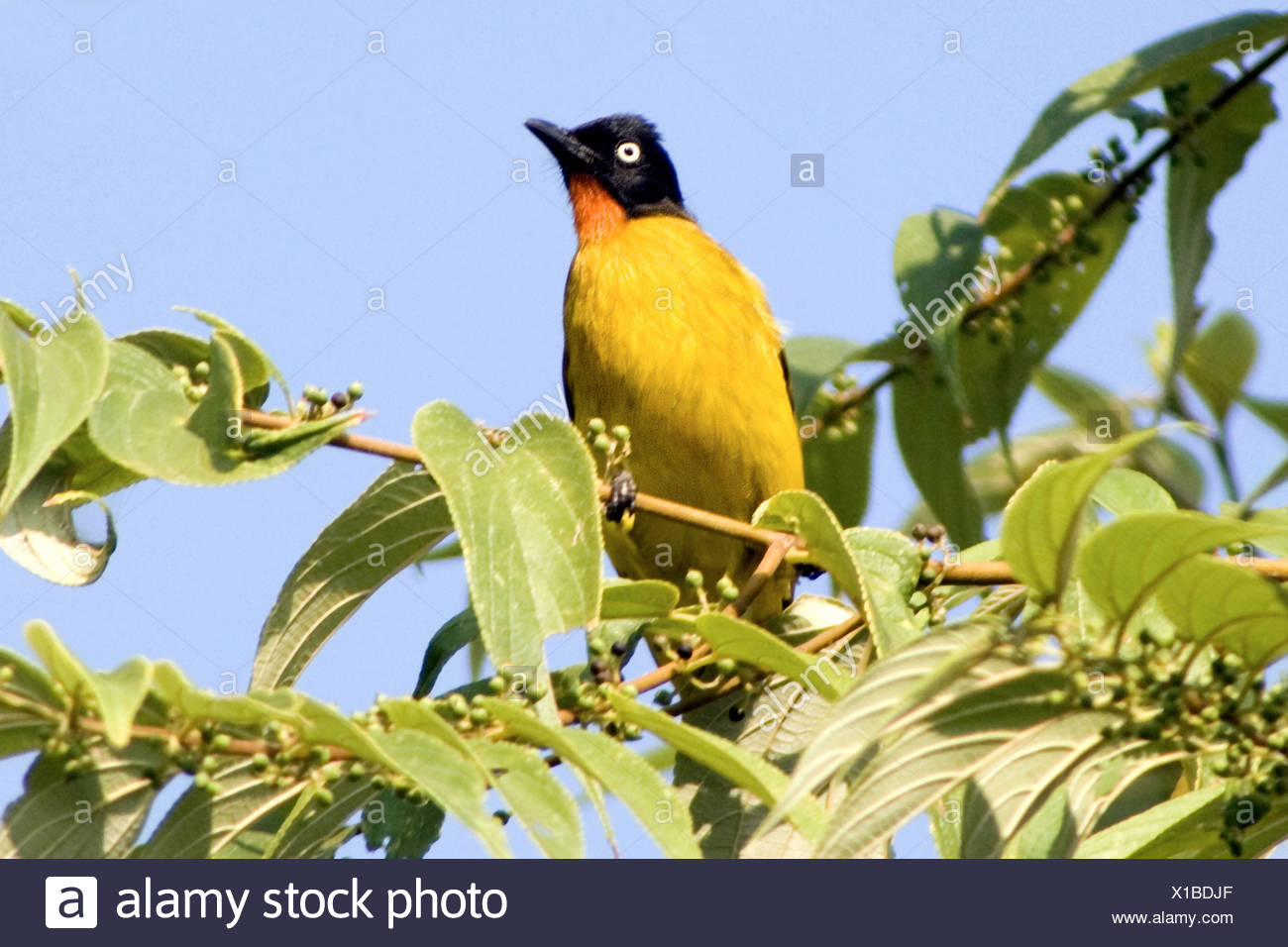 Black-crested bulbul, Pycnonotus flaviventris  - family, Pycnonotidae. Medium-sized passerine songbirds.Goa's state bird - Stock Image