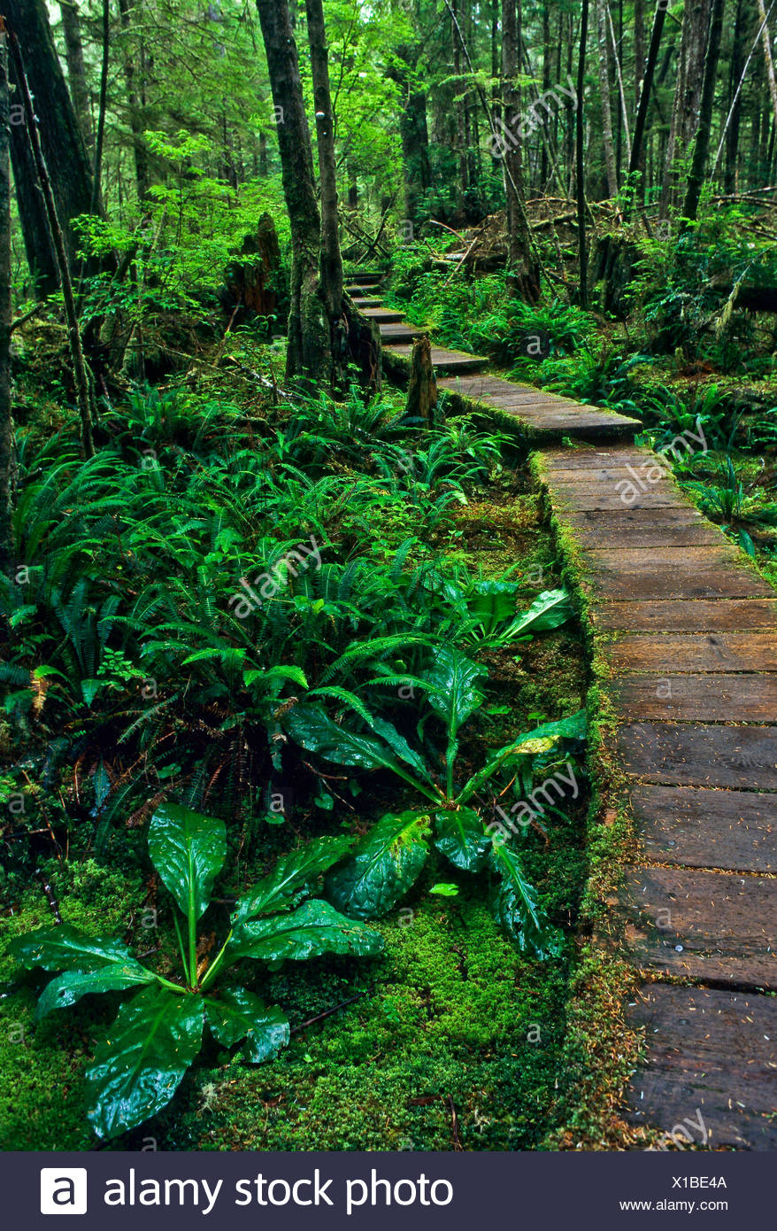 Wooden boardwalk going through temperate rainforest, Olympic National Park, Washington, USA Stock Photo