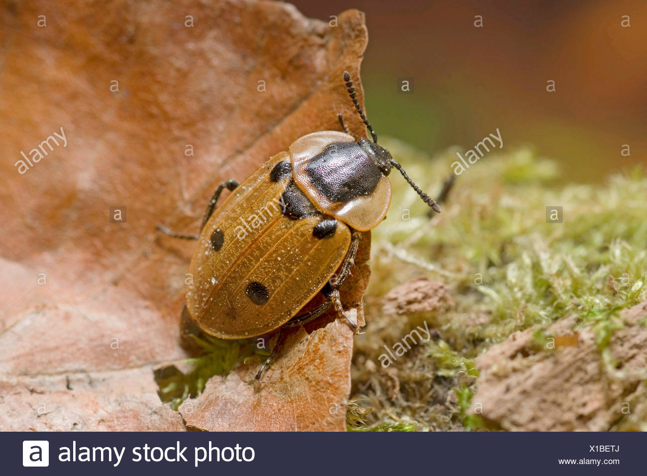 four-spotted burying beetle (Xylodrepa quadrimaculata, Dendroxena quadrimaculata), sitting on a dry leaf lying in moss, Germany - Stock Image