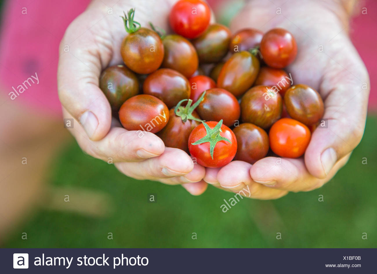 homegrown just picked cherry tomatoes held in the hand - Stock Image